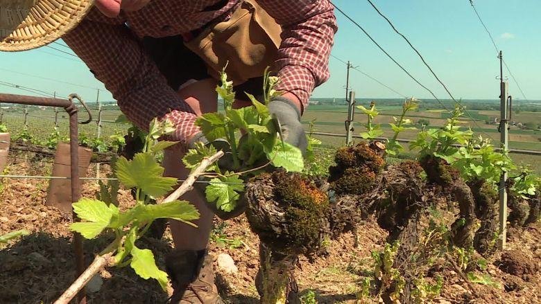 L'ébourgeonnage, une étape clé du travail de la vigne / © Guillaume Desmalles / France Télévisions