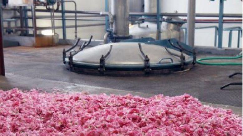 Des roses Centifolia en attente de chargement dans un extracteur de l'entreprise Firmenich à Grasse. / © Firmenich