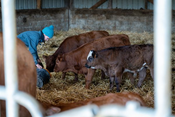 Entre deux coups de fourche, Hélène prend le temps de nourrir les veaux à part et de les caresser, pour qu'ils s'habituent au contact humain.