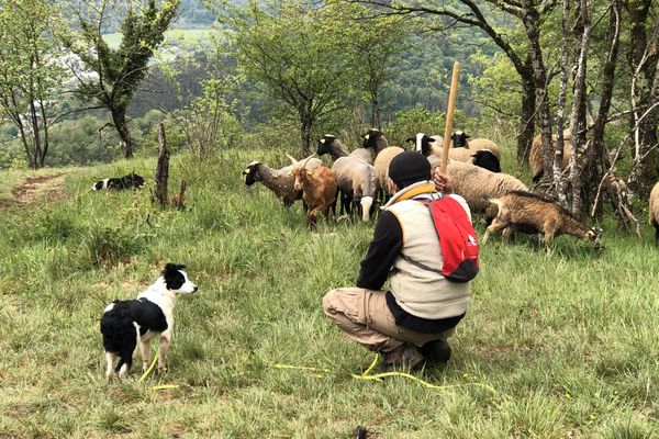 Julien est en constante surveillance du troupeau