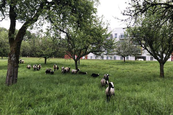 Le parc des Frères à Saint-Claude et leur 21 brebis accompagnées de 16 agneaux