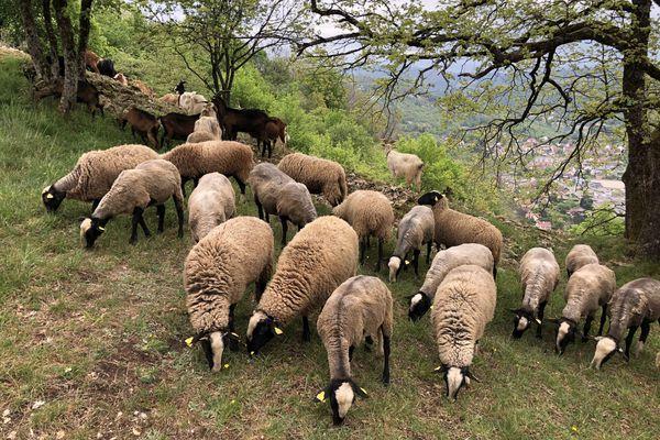 Les moutons occupés au désherbage