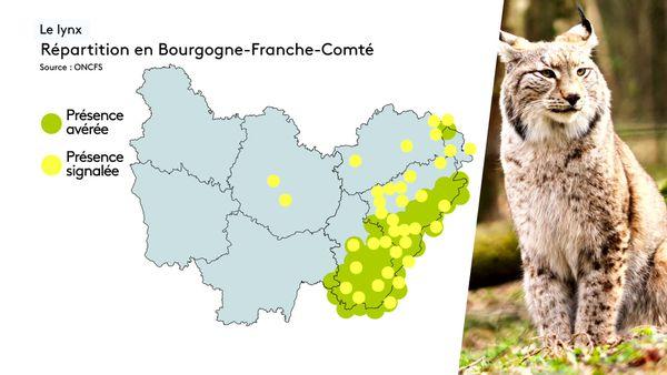 Le lynx se trouve essentiellement dans les massifs du Jura, sa présence en Saône-et-Loire serait une première.