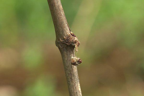 Un bourgeon de la vigne de Vincent Eysseric, mort à la suite du gel.