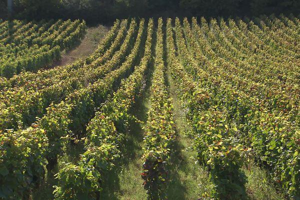 La vigne a aussi souffert d'un épisode de gelées en avril, les rendements pourraient être de 40% inférieurs à une récolte normale.